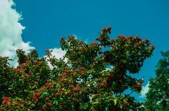 Viburnum rojo y hojas verdes fotografía de archivo libre de regalías
