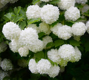 Viburnum Roseum bloomed beautiful white globular flowers Royalty Free Stock Image