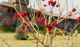 Viburnum rouge Image libre de droits