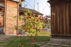 Viburnum rouge Photo libre de droits