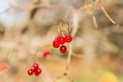 Viburnum rouge Images stock