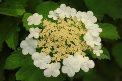 Viburnum sargentii Royalty Free Stock Images