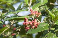 Viburnum setigerum Hance Royalty Free Stock Photo