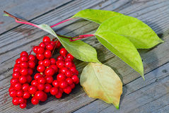 Viburnum shrub with red berries Royalty Free Stock Photos