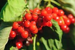 Viburnum shrub with red berries Stock Photography