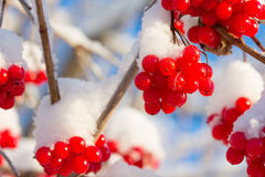 Viburnum shrub with red ripe berries covered with snow Stock Photos
