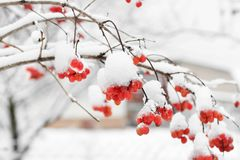 Viburnum In The Snow. winter royalty free stock image