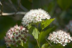 viburnum snowball Стоковые Изображения