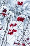 Viburnum sur une branche couverte de neige photos stock