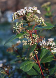 Viburnum tinus in bloom. The beautiful early spring flowering shrub, Viburnum tinus also known as Laurestine Royalty Free Stock Photo