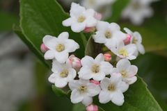 Viburnum tinus. Close up of viburnum tinus flowers in bloom stock photography