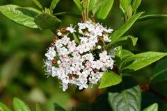 Viburnum tinus lautistinus Viburnum stockfoto