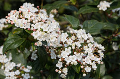 Viburnum Tinus Stock Photos
