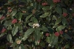 Viburnum tinus Strauch stockbilder