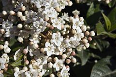 Viburnum with white flowers royalty free stock photography