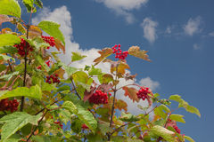 Viburnum tree on blue sky background. Ripe red berries on the Bush viburnum on the background of blue sky stock image