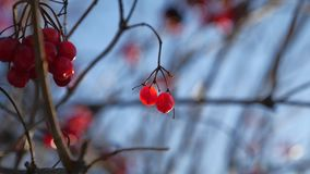 Viburnum tree branch on a blue sky background red berries winter Stock Photos