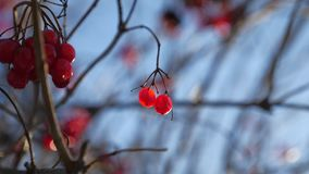 Viburnum tree branch on a blue sky background red berries winter Stock Photography