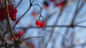Viburnum tree branch on a blue sky background red berries winter. Viburnum tree branch on blue sky background red berries winter stock footage