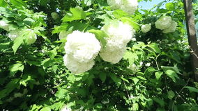 Viburnum tree brunch stock video