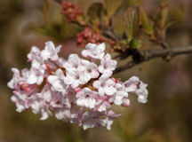 Viburnum. Tree in Latin:  x bodnantense stock photography