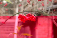 Viburnum on the tree Stock Images