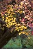 Viburnum tree. In the warm autumn Stock Image