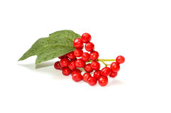 Viburnum twig with leaves Stock Image