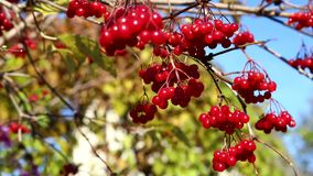 Viburnum, una rama de un viburnum metrajes