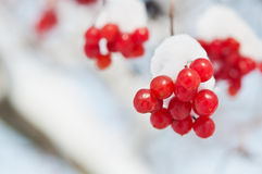 Viburnum under snow background Royalty Free Stock Photos