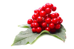 Viburnum vermelho Foto de Stock Royalty Free