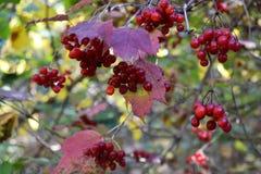Viburnum vermelho Fotos de Stock