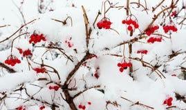 Viburnum w śniegu 1 Obraz Royalty Free