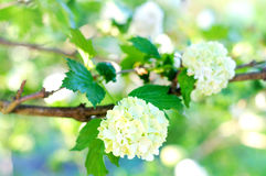 Viburnum. White flowers viburnum in springtime Stock Photography