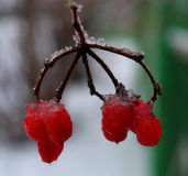 Viburnum in winter, berries on a frost Stock Photography
