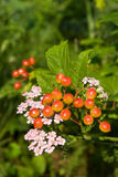Viburnum and yarrow Royalty Free Stock Photos