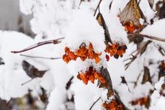 Viburnumbär i snön Vinterbär på trädet Kalina Royaltyfria Foton