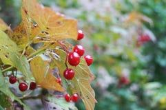 Viburnumbär i trädgården royaltyfri foto