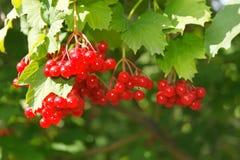 Viburnumbär på busken royaltyfri foto
