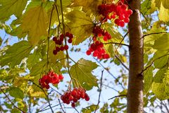 Viburnumbär som hänger på ett träd med sidor royaltyfri fotografi