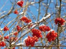 Viburnumbär som täckas i snö på vintertid Grupper av den röda viburnumen, röda bär, Guelder steg Fotografering för Bildbyråer