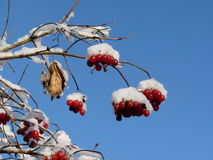 Viburnumbär som täckas i snö på vintertid Grupper av den röda viburnumen, röda bär, Guelder steg Arkivbilder