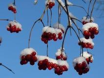 Viburnumbär som täckas i snö på vintertid Grupper av den röda viburnumen, röda bär, Guelder steg Arkivbild