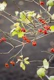Viburnumbeeren Stockbilder