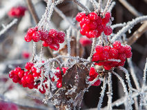 Viburnumbeeren bedeckt mit Frost Lizenzfreie Stockbilder