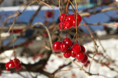 Viburnumbeeren im Winter Stockfotos