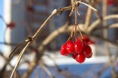 Viburnumbeeren im Winter Lizenzfreie Stockfotografie