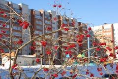 Viburnumbeeren im Winter Stockbild