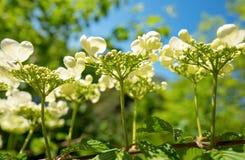 Viburnumbloemen in close-up bij Duivenvoorde-landgoed stock foto's