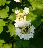 Viburnumblomningar Viburnumopulus Skalbagge - Longhornskalbagge på blommorna Prionus coriarius Royaltyfri Foto